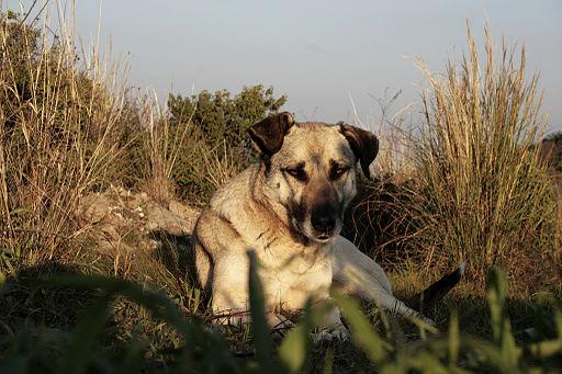 Wild_dog