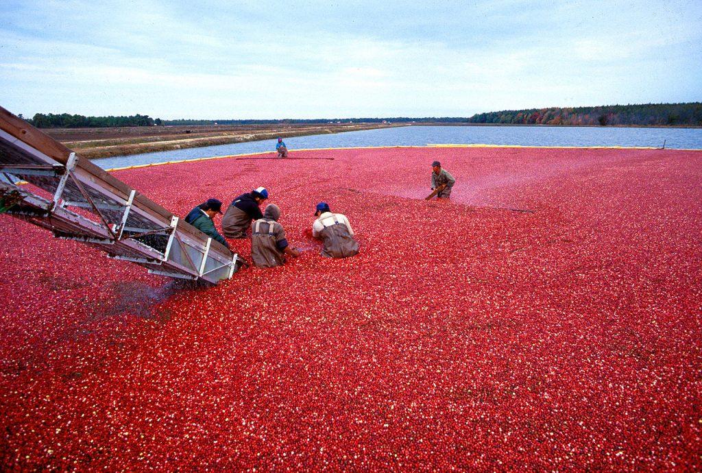 cranberry wikimedia 1280px-Cranberrys_beim_Ernten