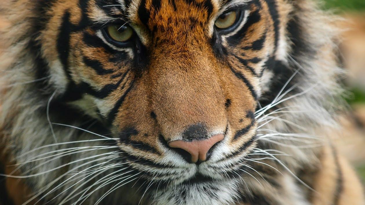 Elegant TPC's Romana, Quiet Prowess, Beautiful Tigress